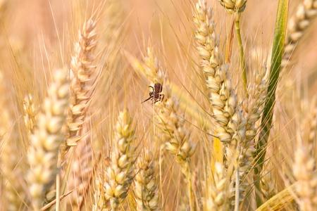 spica: espiga de ma�z en el campo con la ara�a en la hermosa luz