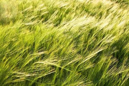 pattern of green corn in field Stock Photo - 10593145