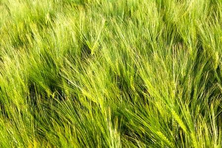 pattern of green corn in field photo