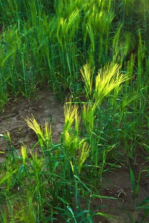 pattern of green corn in field Stock Photo - 10593122