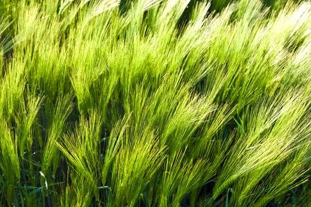 pattern of green corn in field Stock Photo - 10593135
