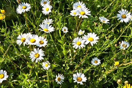 matricaria recutita: chamomiles belli del prato
