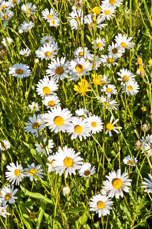 beautiful chamomiles in the meadow photo
