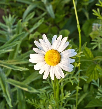 chamomile  in the meadow photo