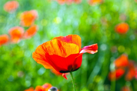 beautiful poppy flowers in the meadow