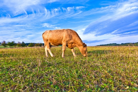 Portrait of nice brown cow in a field Stock Photo - 10593765