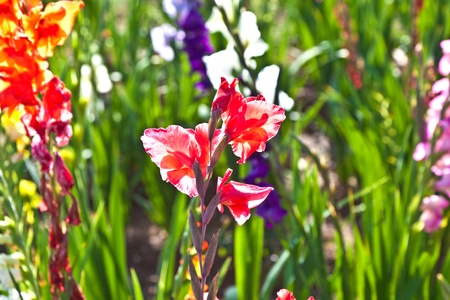 crimson colour: beautiful gladioles in the meadow Stock Photo