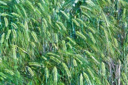 spica of wheat in corn field photo