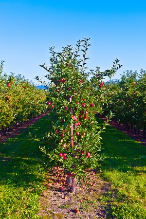 ripe apples on a tree branch against blue sky photo