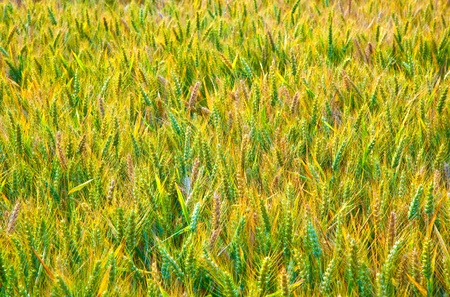 golden corn field with spica in detail photo