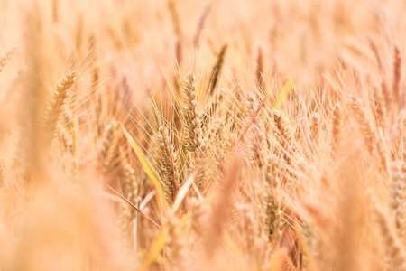 golden corn field in detail Stock Photo - 10668829