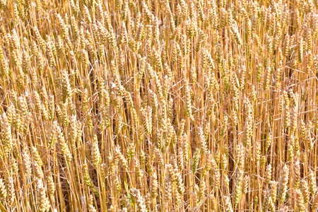 golden corn field in detail Stock Photo - 10668842