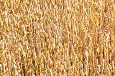 farm structures: golden corn field in detail