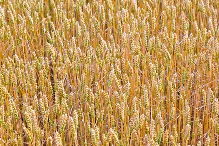golden corn field in detail Stock Photo - 10694642