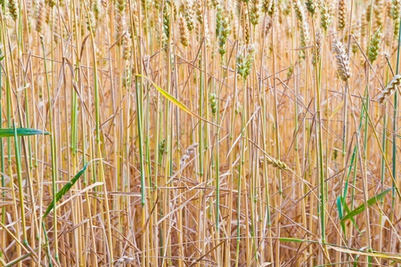 golden corn field in detail Stock Photo - 10694640