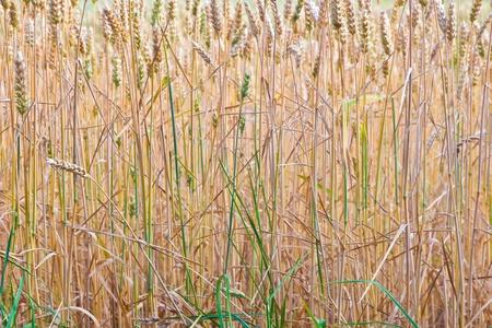 golden corn field in detail Stock Photo - 10694645