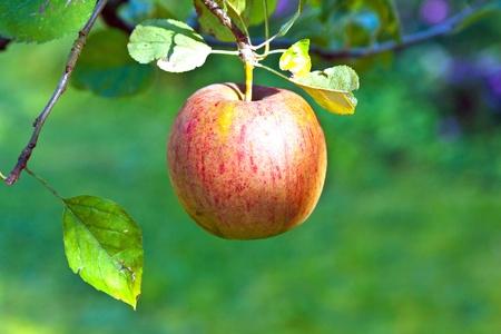 ripe apple hanging at the tree