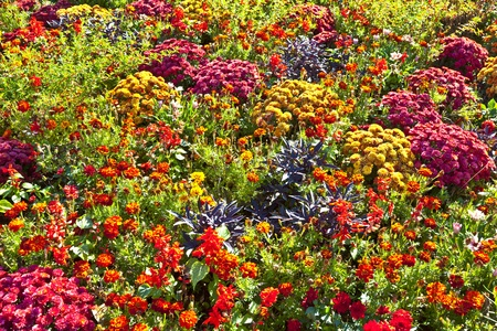 colorful marifold arranged in a flower bed photo
