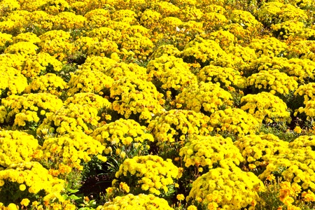 bundesgartenschau: beautiful marigold arranged in a flower bed Editorial