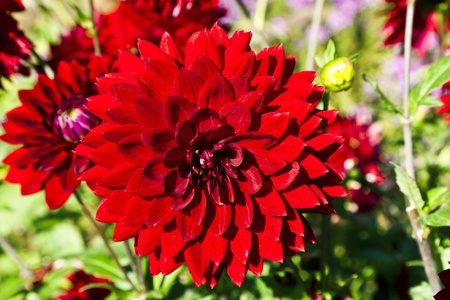 beautiful blooming dahlia in flower bed Stock Photo - 10888546