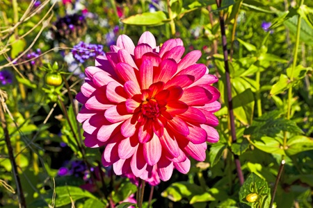 beautiful blooming dahlia in flower bed photo