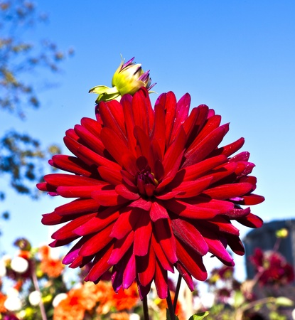 beautiful blooming dahlia in flower bed with blue sky photo