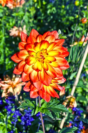 beautiful blooming dahlia in flower bed Stock Photo - 10888554