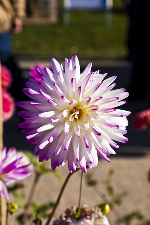 beautiful blooming dahlia in flower bed Stock Photo - 10888542