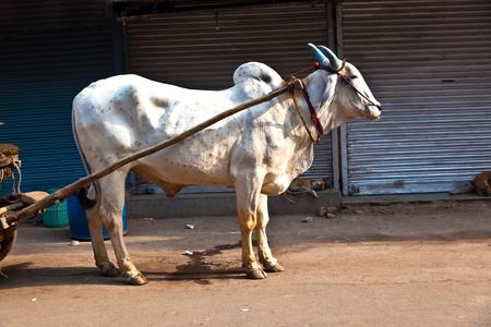 Ox cart transportation on early morning in Delhi, India.