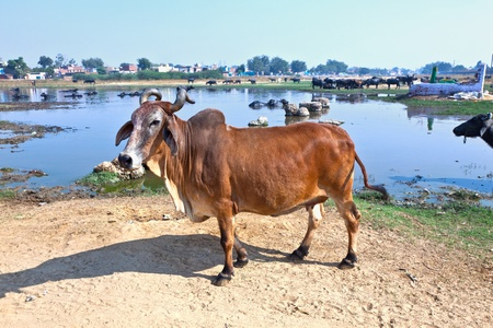 cow has a rest in the lake of the village photo