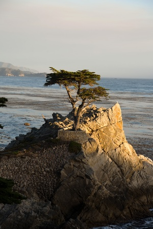 lobos: PEBBLE BEACH, USA - JULY 26: Lonely Cypress Tree standing isolated on a rock in sunset on July 26,2008 in Pebble Beach, USA.  The tree is around 250 years old and one of the  famous landmarks of California.