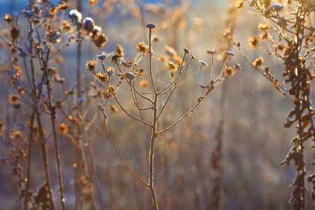 frozen plants in meadow with backlight in wintertime photo