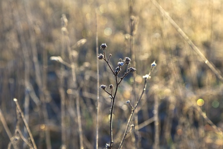 frozen plants in meadow with backlight in wintertime photo
