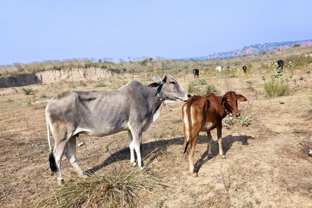 mother cow with young calf resting in a field Stock Photo - 11858702