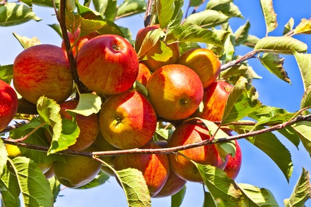 apple orchard: ripe fruity apples at the tree