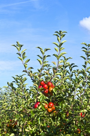 ripe fruity apples at the tree photo