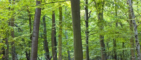 beautiful wild oak forest photo