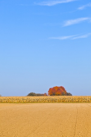 sere: natural full frame background with withered corn plants