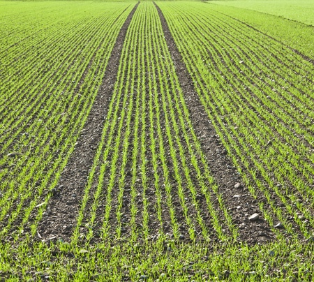 field with straight rows of young corn Stock Photo - 11978244