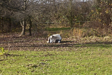 horse lying at a meadow photo