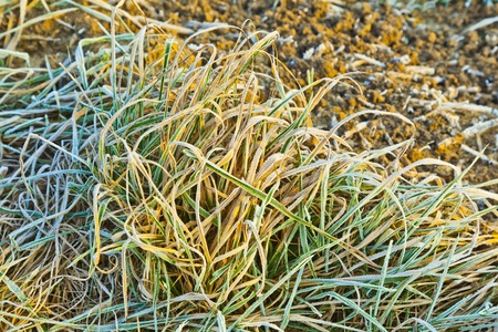 frozen grass at the meadow in Winter photo