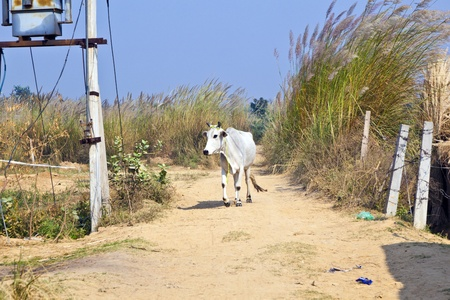 cow walking along a trail in open area photo