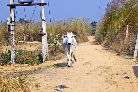 cow walking along a trail in open area Stock Photo - 12065669