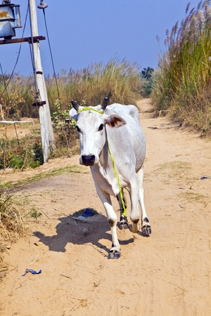 cow walking along a trail in open area Stock Photo - 12065530