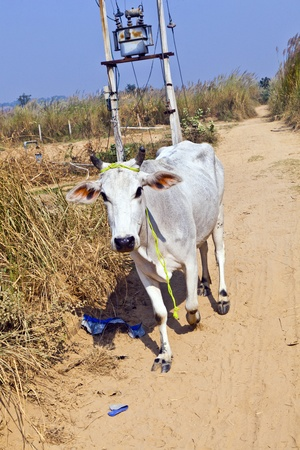 cow walking along a trail in open area Stock Photo - 12065649