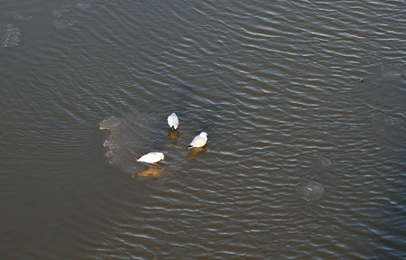 pigeons on an ice flock floating on river Main Stock Photo - 12247174
