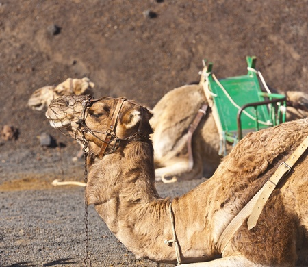 guided: camels at Timanfaya national park wait for tourists for a guided tour