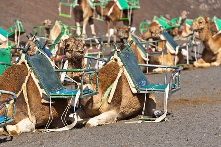 camels at Timanfaya national park wait for tourists for a guided tour Stock Photo - 12346566