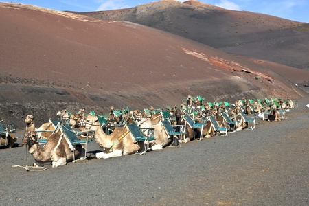 camels at Timanfaya national park wait for tourists for a guided tour photo