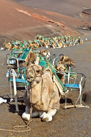 timanfaya: camels at Timanfaya national park wait for tourists for a guided tour